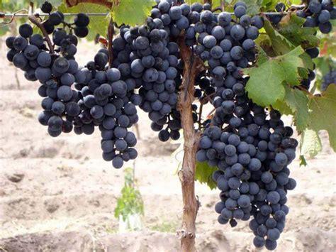 imagenes de uva malbec pregon agropecuario el malbec podr 205 a valer 6 vinos