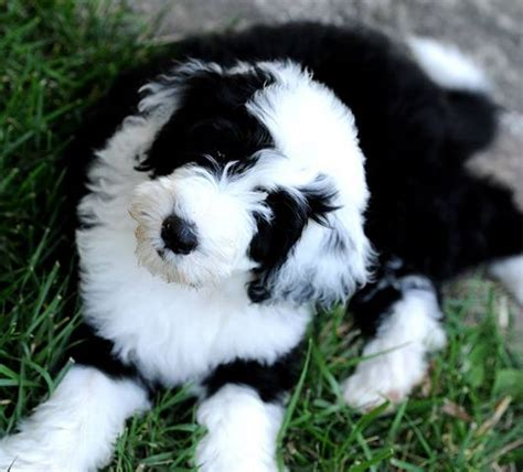 shepadoodle puppies for sale sheepadoodle puppies for sale in florida autos post