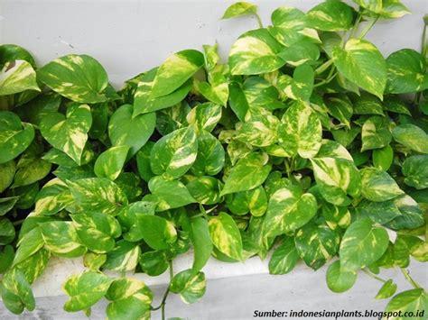 Tanaman Sirih Gading Pohon Sirih Gading 5 tanaman rekomendasi nasa yang bisa membersihkan udara rumah
