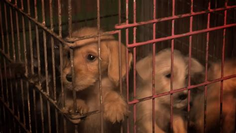 aspca puppy mills aspca rescues more than 50 dogs from horrific puppy mill dogtime