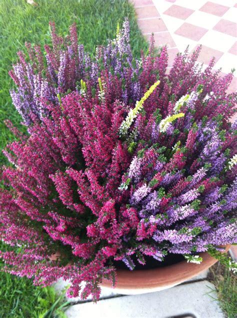 fiori autunnali da giardino piante e fiori autunnali