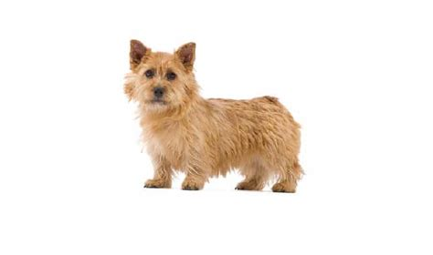 Norwich Terrier Shedding by Norwich Terrier Breed Information Facts Pictures