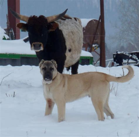 boz dogs what makes a quot boz quot a boz boz shepherd breeders association tbba turkish boz