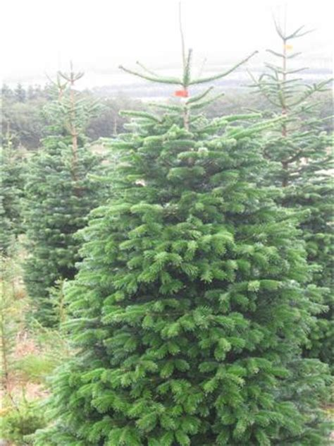 10 ft christmas trees uk make an impression with a ten foot tree scottish trees