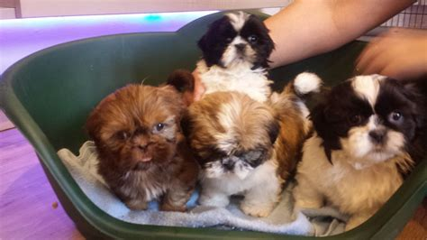 shih tzu puppies for sale west midlands shih tzu puppies wolverhton west midlands pets4homes