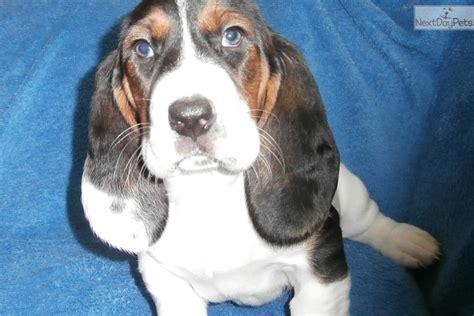 basset hound puppies for sale ohio basset hound puppy for sale near akron canton ohio a41c597f bdd1