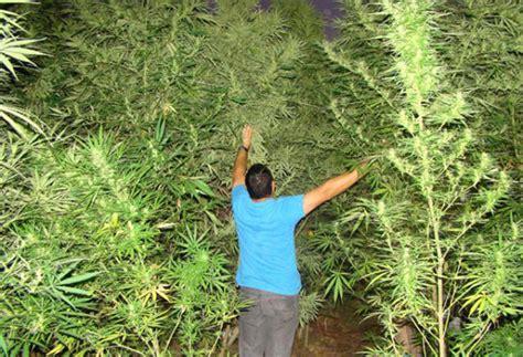 canapé hay hallan un bosque de marihuana con plantas de hasta cuatro