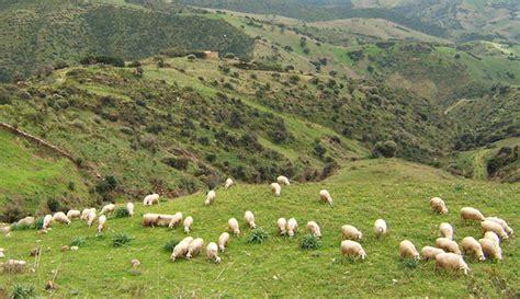 alimentazione pecore allevare pecore ecco come iniziare idee green