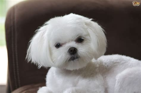 pictures of maltese dogs maltese breed information buying advice photos and facts pets4homes