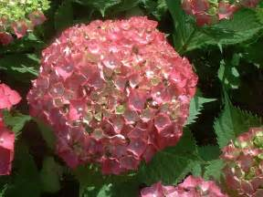 Pictures Of Flower Seeds - how to paint a hydrangea flower typesofflower com