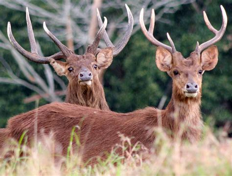 L Rusa le magazine chassons actualit 233 s chasse 224 l 233 tranger chasse octobre 2011