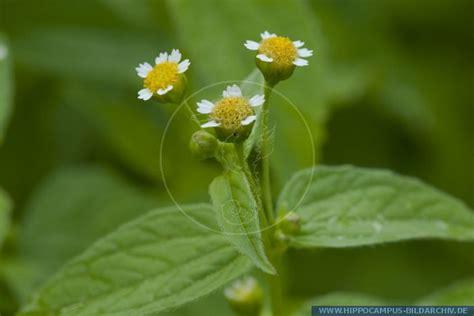 Flower In Bloom galinsoga parviflora alias kleinbluetiges knopfkraut