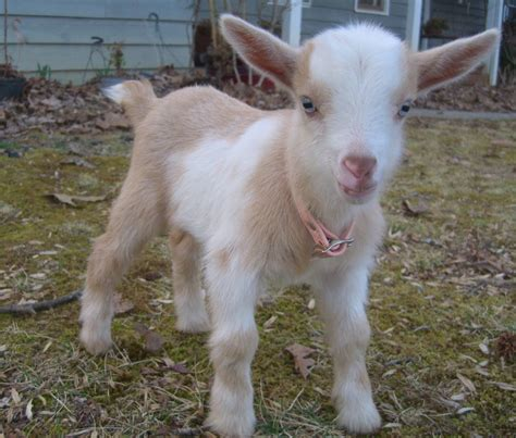 Australian Home Decor by Cute Overload 2 Baby Goat Tries To Baa Shinyshiny
