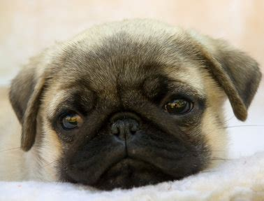 facts about pug dogs pug dogs and their world