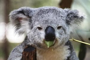 Comment Tailler Un Eucalyptus by Eucalyptus Gunnii Maladie Handpuzzles