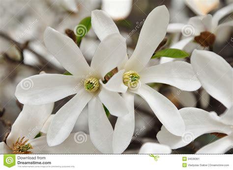 fiori a stella fiori bianchi a stella gpsreviewspot