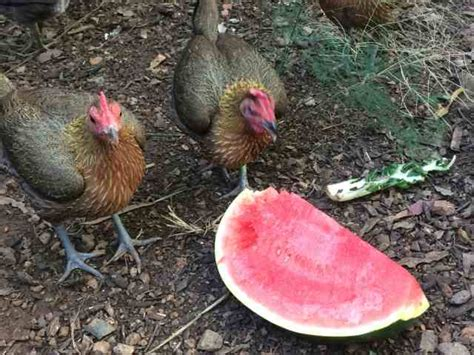 can chickens eat watermelon