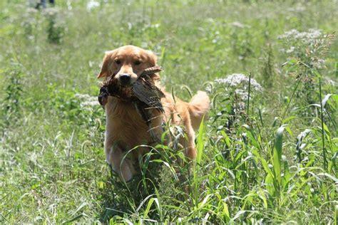 gemini golden retrievers joe from gemini golden retrievers of rockledge florida