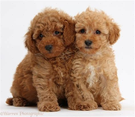 standard poodle puppies best 25 poodle puppies ideas on maltipoo poodles and