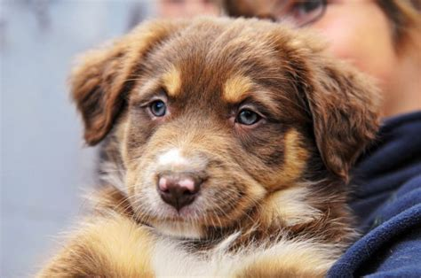 brown australian shepherd puppies shepherd brown images
