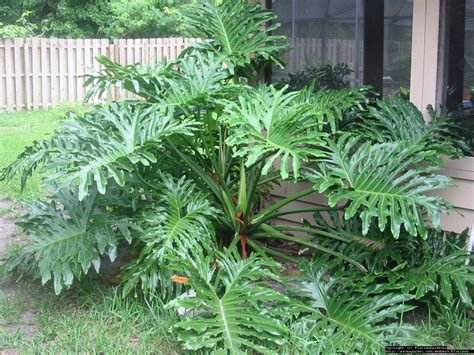 Tanaman Philodendron Monstera Gergaji Xanadu Green Saw plantfiles pictures philodendron 1 by floridagardener