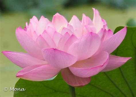 the lotus flower in buddhism img 7705