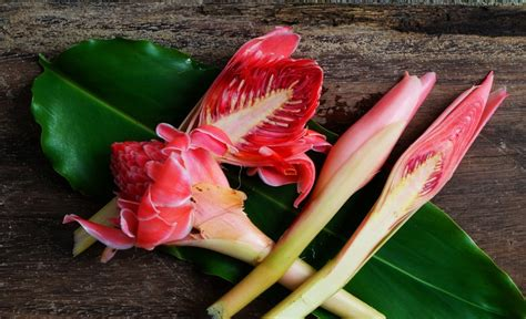 tips memilih mengolah bunga kecombrang resepkoki