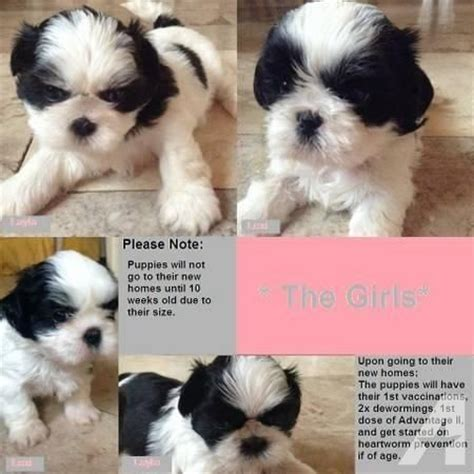 teacup shorkie puppies for sale tiny teacup shorkie puppies for sale in owingsville kentucky classified