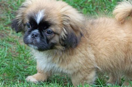 pekingese shih tzu mix puppies shih tzu temperament breeds picture