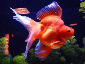 Ryukin Goldfish ? Tips and Characteristics