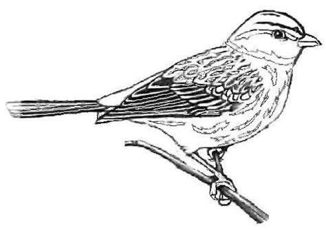 Sparrow Coloring Page Sketch Coloring Page Sparrow Coloring Pages