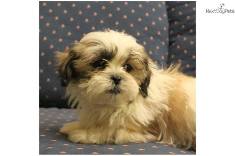 shih tzu puppies for sale in rock arkansas shih tzu puppies shih tzu grooming boy a shih tzu puppy for sale near sioux city iowa