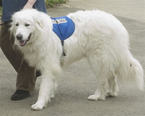 can service dogs in go anywhere service dogs therapy dogs esas what s the difference anyway