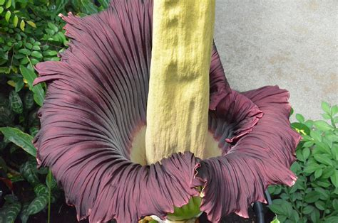 corpse flower about the blooming of the corpse flower titan arum