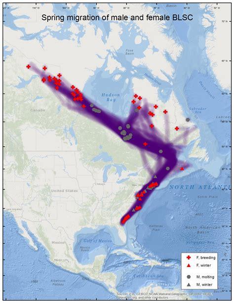 duck migration map black scoter migration distribution maps