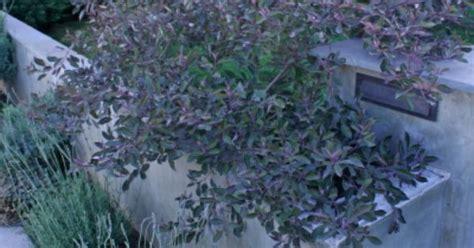 arabian lilac  garden gem modern pinterest lilacs