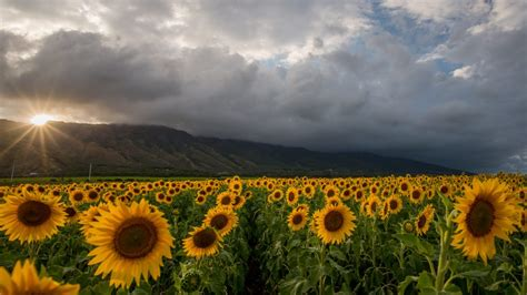 fast boat maui maui now sunflowers in bloom earth day tours filling up