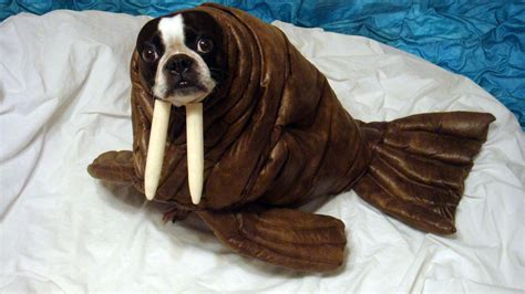 walrus puppy 20 adorable diy pet costume ideas for 2017