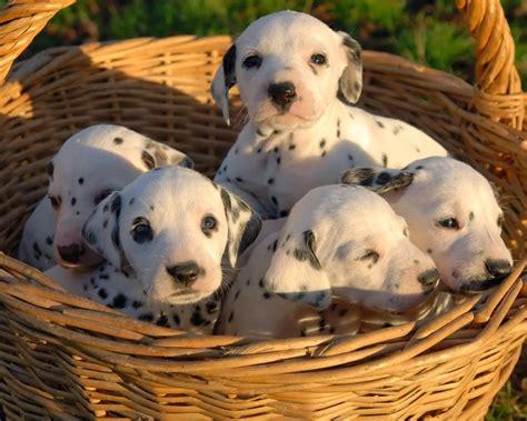 imagenes animales bebes imagenes de perritos perritos d 225 lmatas beb 233 s