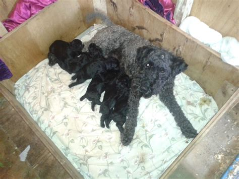 kerry blue terrier puppies for sale kerry blue terrier puppies ferryhill county durham pets4homes