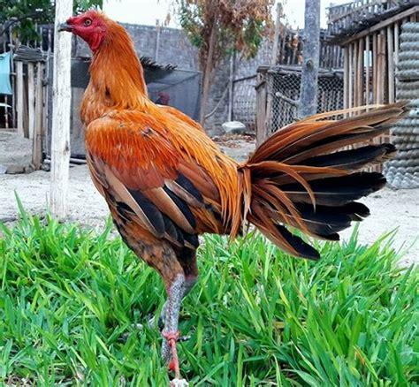 la navaja peruana gallos de pelea gallos peruanos gallos por carlos cogorno gallos de pelea gallos peruanos www