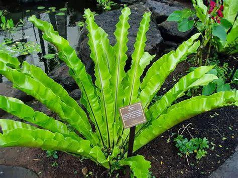 contoh  gambar tumbuhan paku pakuan
