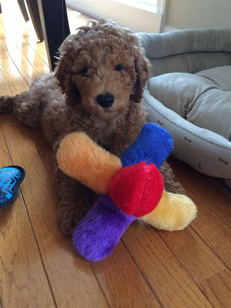 doodle name reza 17 best images about puppies on poodles coton
