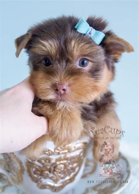 yorkie boutique teacup yorkies for sale by teacups puppy boutique teacups puppies boutique