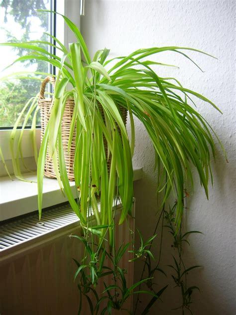 Schöne Pflegeleichte Zimmerpflanzen by Pflegeleichte Zimmerpflanzen 18 Vorschl 228 Ge Archzine Net