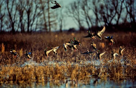 how to your to duck hunt guided duck colorado