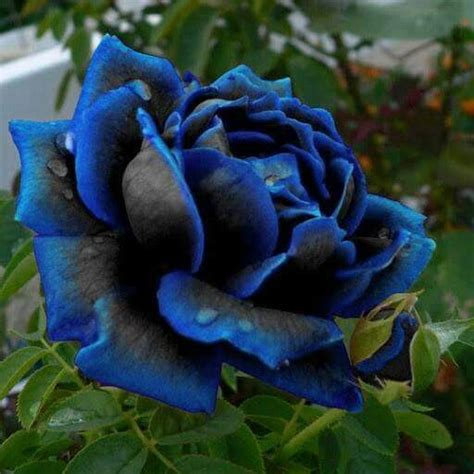 beautiful black and blue rose flower pinterest 好きなもの