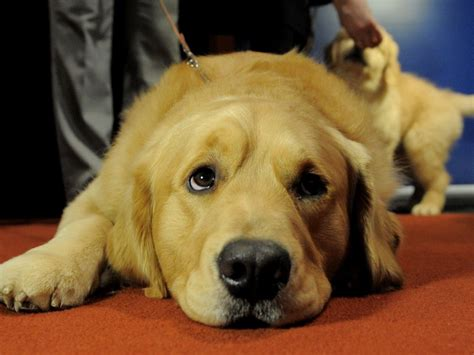 pet therapy   anxious dog benefit