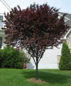 9 best images about thundercloud plum trees on pinterest