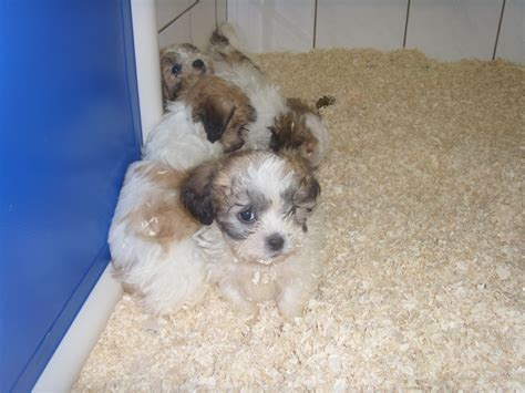 shih tzu weight 8 week shih tzu weight 1001doggy